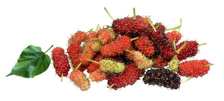 Multicolored mulberry cubes on a white background.When fully mature there will be a dark red with sweet taste. The green baby has a sour taste. But rich in vitamin C with low calories suitable for health lovers. The leaves have a serrated edge at the tip of the pointed leaf, with a prickly skin. Stockfoto