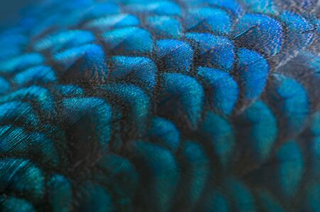 Close-up of the peacock feathers .Macro blue feather, Feather, Bird, Animal. Macro photograph. Stock Photo