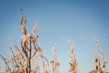Drought has decimated a crop of corn and left the plants dried out and dead. Symbol of global warming and climate change. Banco de Imagens