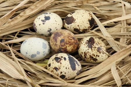 kuropatwa: Partridge eggs on hay