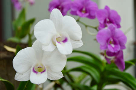 nosegay: Thai orchids in the garden.