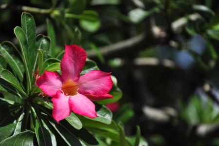 obesum: Desert Rose (Adenium obesum)