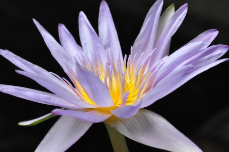 nymphaea: Nymphaea caerulea, also known as the Blue Egyptian water lily or sacred blue lily, is a water-lily in the genus Nymphaea