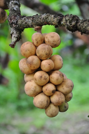 lang: Lansium Domesticum or Lang Sat or Long kong