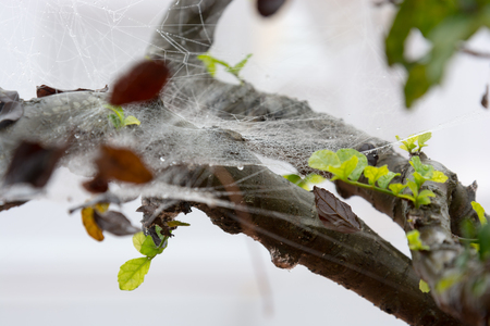 leaves entangled in wet spiderwebs in the forest Stock Photo