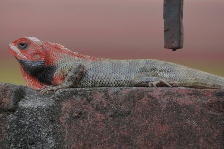 Colorful garden lizard moving on the wall. 写真素材 - 149580802
