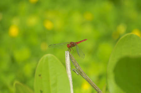 trithemis: Red Dragonfly on the green field