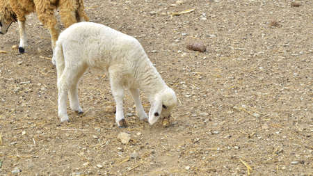 young sheep is eating photo