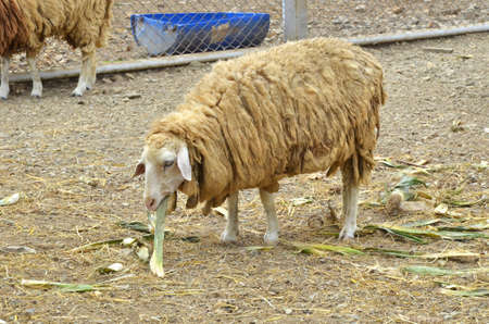 old sheep is eating corn shell photo