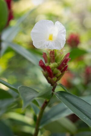 maas: Costus woodsonii maas  Stock Photo