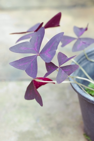 Oxalis triangularis Stock Photo - 15868304
