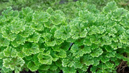 commonly: Selaginella apoda, commonly known as meadow spikemoss