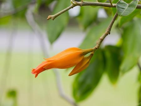 solanaceae: juanulloa mexicana plant