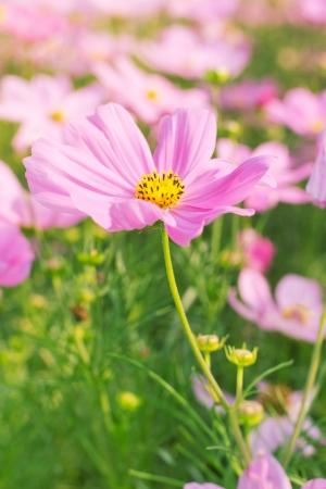 compositae: Cosmos pink flower Family Compositae in garden