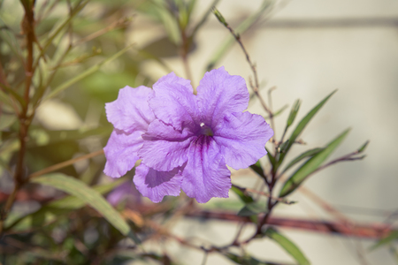 acanthaceae: Ruellia Brittoniana in the park, The plant is native to Mexico Stock Photo