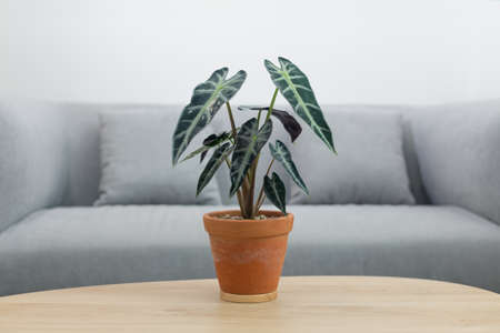 Alocasia sanderiana Bull or Alocasia Plant in clay pot on wooden table in living room