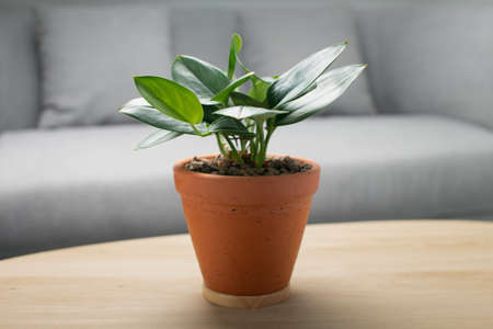Scindapsus treubii moonlight in clay pot on wooden table in living room. Houseplant. Air Purifying Plants ( for indoor )