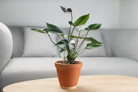 Black flamingo flower or Anthurium andraeanum in clay pot on wooden table in living room. Air purifying plants in the home 版權商用圖片