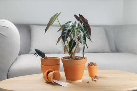 Alocasia sanderiana Bull or Alocasia Plant in clay pot on wooden table in living room. Clay pots and accessories on wooden tables. Preparing tools and equipment before planting 版權商用圖片