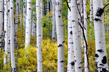 aspen leaf: aspen trees