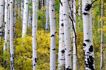 aspen leaf: aspen trunk