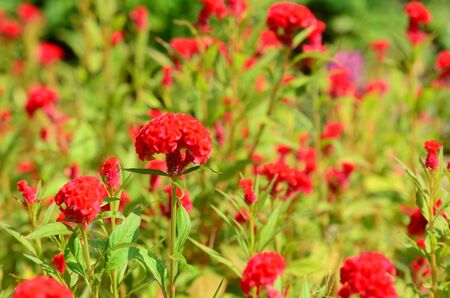 Fantastic blurred red cockscomb flowers garden with blur background