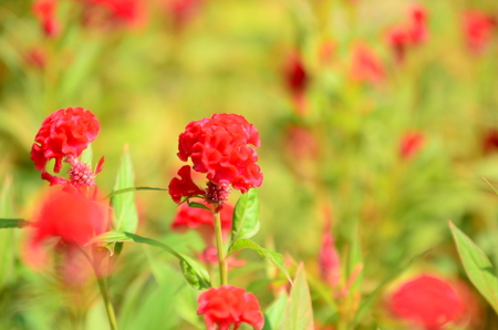 Fantastic blurred red cockscomb flowers garden in red and orange color cockscomb with blur background