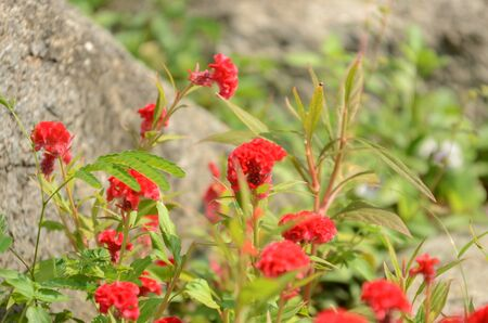 Bright red cockscomb flowers.Bright red cockscomb flowers.