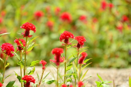 Close up of cockscomb flower or Chinese wool flower.Fantastic blurred red cockscomb flowers garden in red and orange color cockscomb. Stock Photo