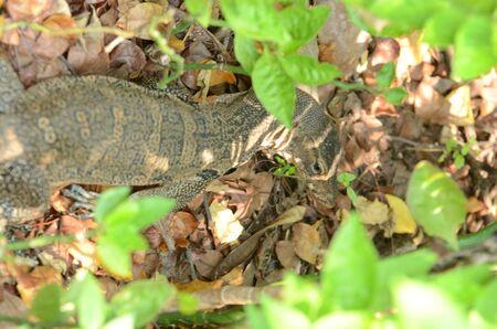 Varanus salvator is reptiles and amphibiansin live in forest of Thailand.Varanus bengalesis at the water