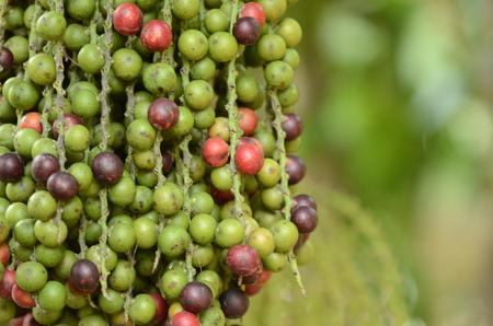 Ripe areca nut on tree Stock Photo