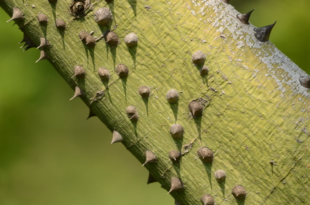 Ceiba speciosa, silk floss tree, trunk and characteristic bark with thick wooden conic prickles emerging from the trunk.