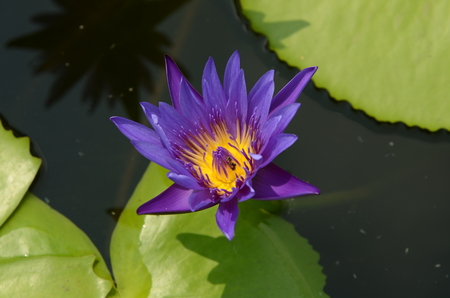 colorful flower with green leaves. Beautiful pink and purple flowers in garden .Purple lotus in the pool