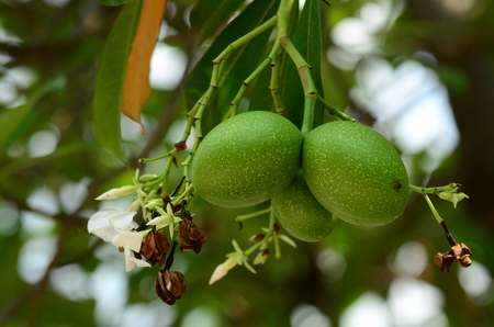 bael fruit tree.The fruit has medicinal value for digestive system