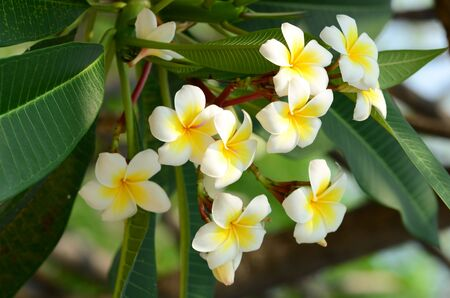 Plumeria Flower. white flower.white flower or white flower background.Colorful flowers in nature. Banque d'images