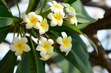 Plumeria flower white flowerllow flower or white flower plumeria flower white flowerllow flower or white flower backgroundlorful flowers in mightylinksfo