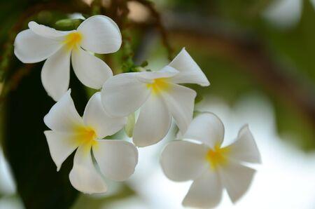 Plumeria flower white flowerwhite flower or white flower plumeria flower white flowerwhite flower or white flower backgroundlorful flowers in mightylinksfo