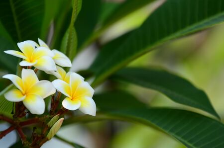 Plumeria Flower.Colorful flowers in nature. Pink White and yellow frangipani flowers with leaves in background. Plumeria flower blooming and green leaf With bright sky