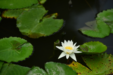 Beautiful white Lotus, water plant with reflection in a pond