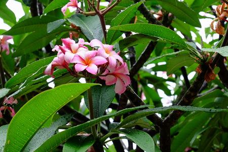 Beautiful pink flowers desert rose flower desert rose beautiful pink flowers desert rose flower desert rose flower with dew drops mightylinksfo