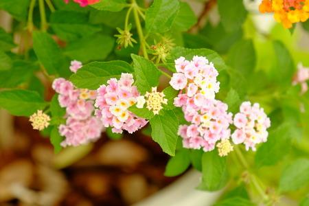 Colorful flowers in the garden.Plumeria flower blooming. Beautiful flowers in the garden Blooming in the summer. Landscaped Formal Garden. Park. Beautiful Garden. Imagens