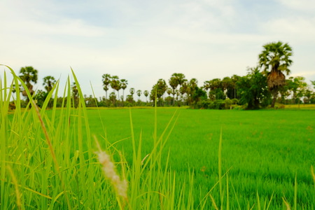 Green rice field and palm tree fields.Rice fields, grass fields, grasses, sugar palm trees and white mist in the noon. Beautiful atmosphere
