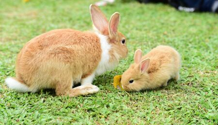 Cute rabbit, brown and white rabbit, mother and baby, walking in the lawn. Little rabbits are tricky in the garden. Rabbit on fresh green grass
