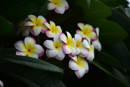 Colorful flowers in the garden.Plumeria flower blooming. Beautiful flowers in the garden Blooming in the summer. Landscaped Formal Garden. Park. Beautiful Garden. Stock Photo