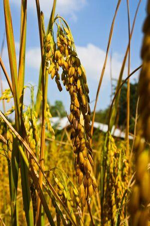 Dontan, Farmer, Thai rice, Thailand Stock Photo - 8454889
