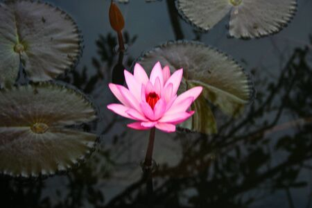 nelumbo: Dontan, Landscape, Nelumbo, Thailand, flower, macro, plant Stock Photo