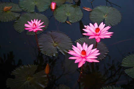 nelumbo:  Landscape, Nelumbo, Thailand, flower, macro, plants, trekking, trip,