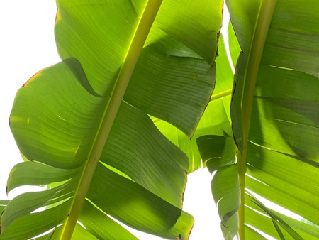 Closed up of banana leaves isolated on white background 版權商用圖片