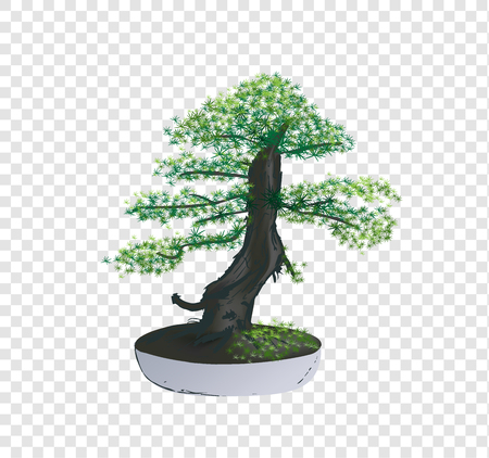 Bonsai Pinus Pine tree vector on transparency background, tiny little tree with green leaves in the cement pot, ornamental decoration item, illustration nature art