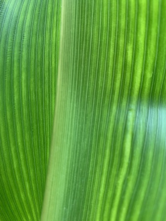 Closed up image of Corn leaves, green leave texture as natural background and wallpaper